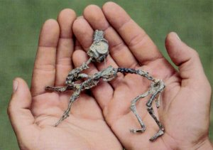 Mussaurus Hatchling Skeleton (CRedit J Bonaparte)